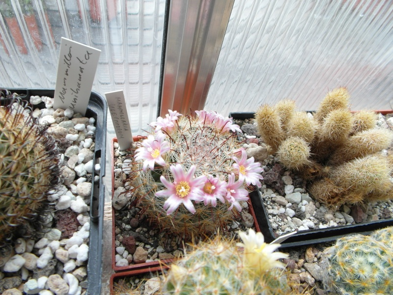 Cacti and Sukkulent in Köln, every day new flowers in the greenhouse Part 48 Bild_760