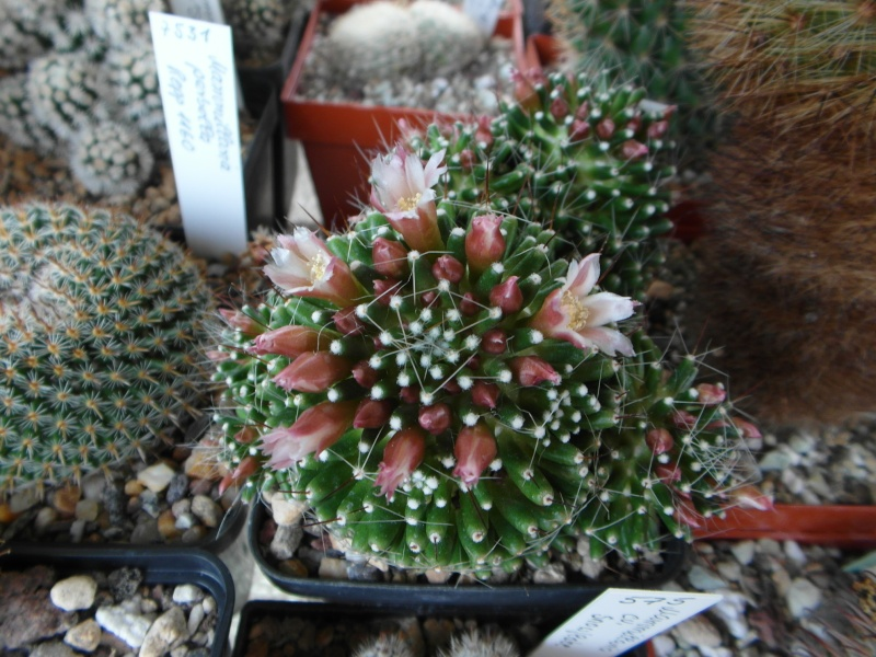 Cacti and Sukkulent in Köln, every day new flowers in the greenhouse Part 48 Bild_762