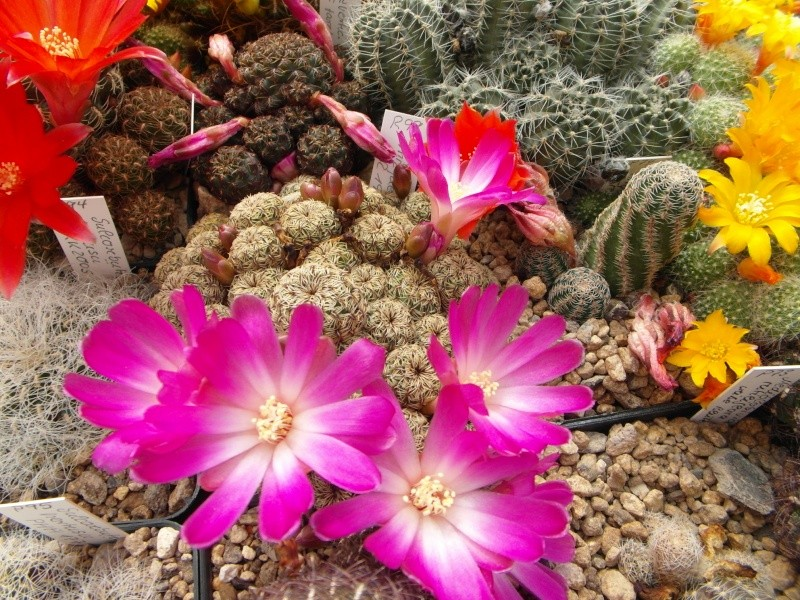 Cacti and Sukkulent in Köln, every day new flowers in the greenhouse Part 48 Bild_770