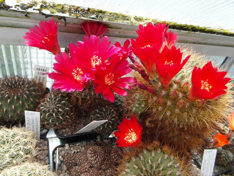 Cacti and Sukkulent in Köln, every day new flowers in the greenhouse Part 48 Bild_771