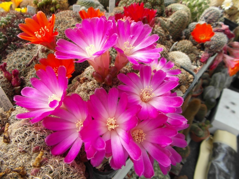 Cacti and Sukkulent in Köln, every day new flowers in the greenhouse Part 48 Bild_773