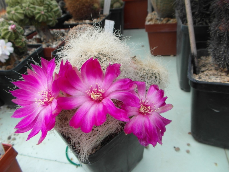 Cacti and Sukkulent in Köln, every day new flowers in the greenhouse Part 48 Bild_774