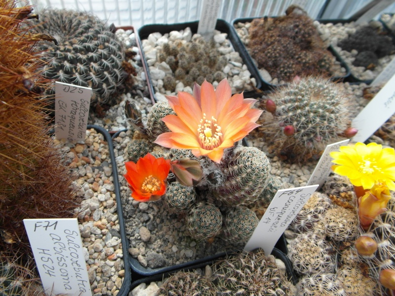 Cacti and Sukkulent in Köln, every day new flowers in the greenhouse Part 48 Bild_777