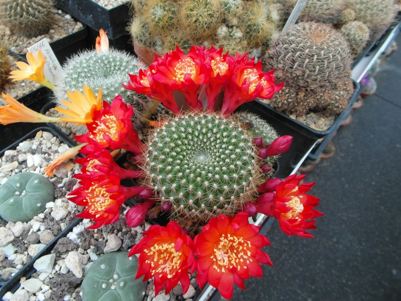 Cacti and Sukkulent in Köln, every day new flowers in the greenhouse Part 49 Bild_787