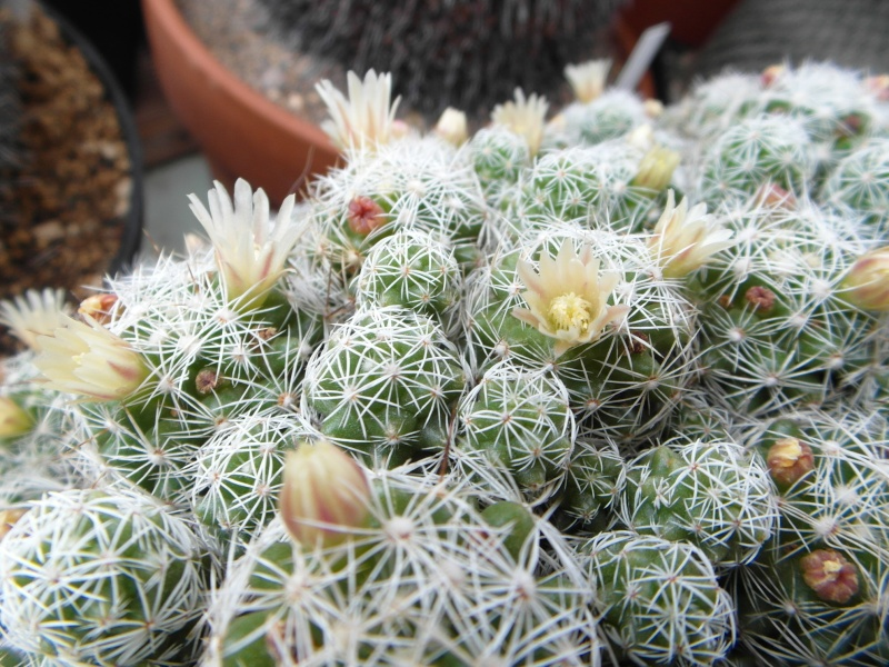 Cacti and Sukkulent in Köln, every day new flowers in the greenhouse Part 48 Bild_794