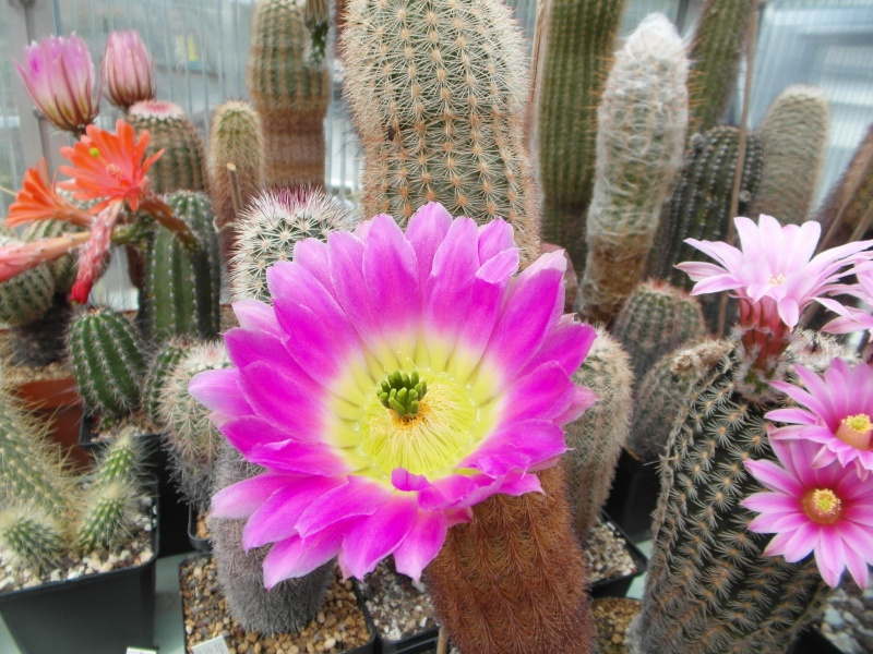 Cacti and Sukkulent in Köln, every day new flowers in the greenhouse Part 49 Bild_811