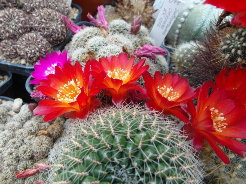 Cacti and Sukkulent in Köln, every day new flowers in the greenhouse Part 49 Bild_816