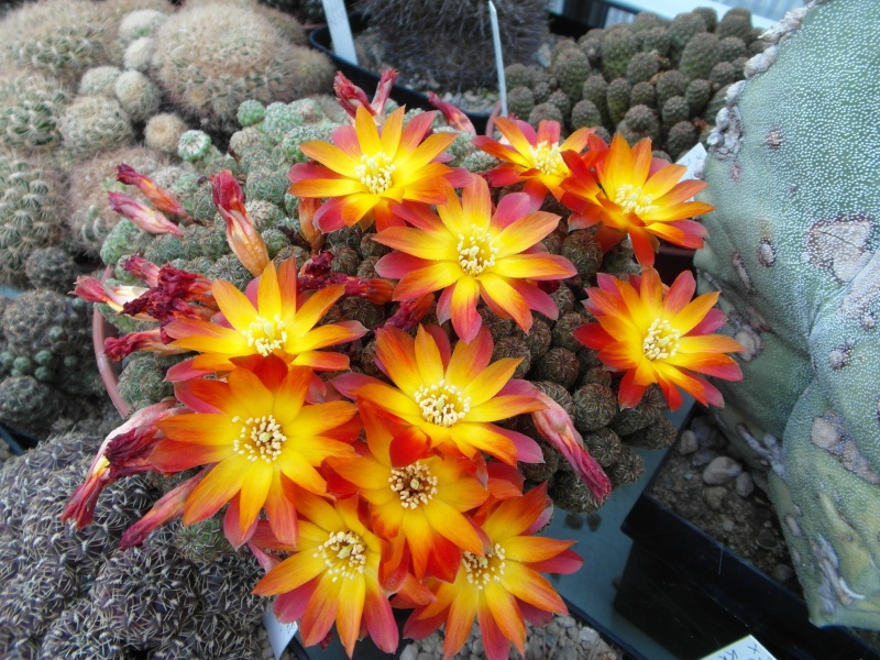 Cacti and Sukkulent in Köln, every day new flowers in the greenhouse Part 49 Bild_817