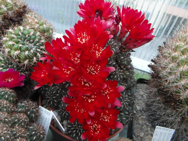 Cacti and Sukkulent in Köln, every day new flowers in the greenhouse Part 49 Bild_818