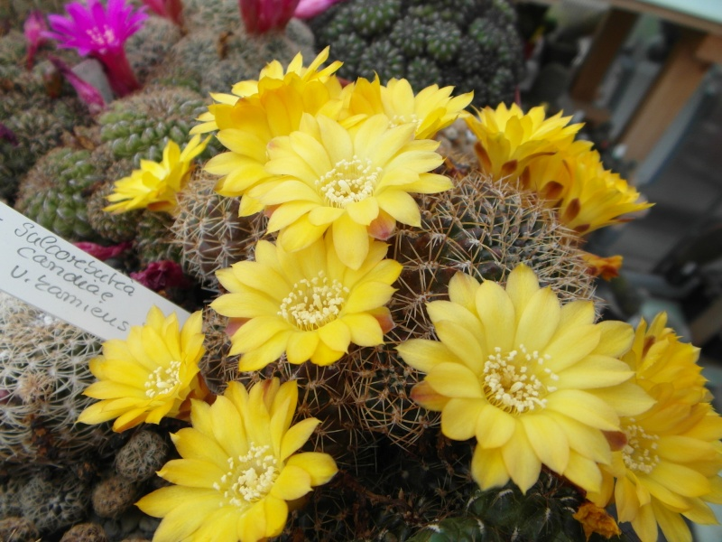 Cacti and Sukkulent in Köln, every day new flowers in the greenhouse Part 49 Bild_819