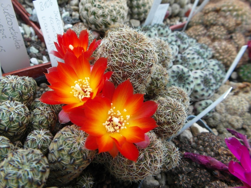 Cacti and Sukkulent in Köln, every day new flowers in the greenhouse Part 49 Bild_820