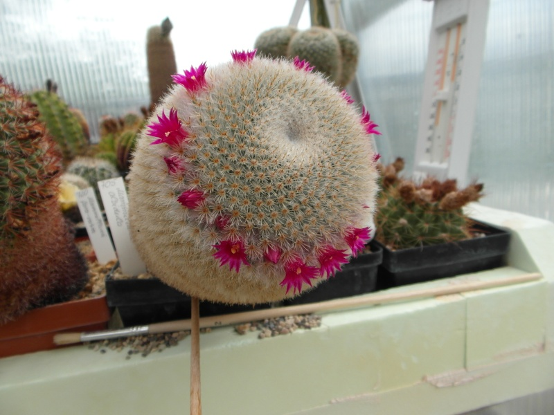 Cacti and Sukkulent in Köln, every day new flowers in the greenhouse Part 49 Bild_844
