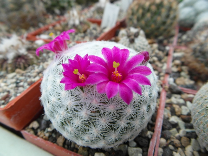Cacti and Sukkulent in Köln, every day new flowers in the greenhouse Part 49 Bild_847