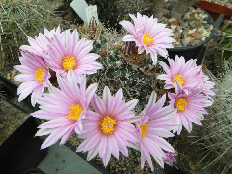 Cacti and Sukkulent in Köln, every day new flowers in the greenhouse Part 49 Bild_851