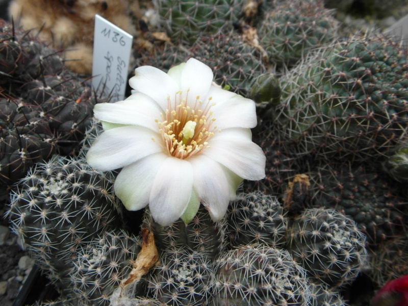 Cacti and Sukkulent in Köln, every day new flowers in the greenhouse Part 49 Bild_853