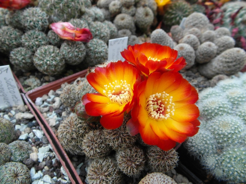 Cacti and Sukkulent in Köln, every day new flowers in the greenhouse Part 49 Bild_859