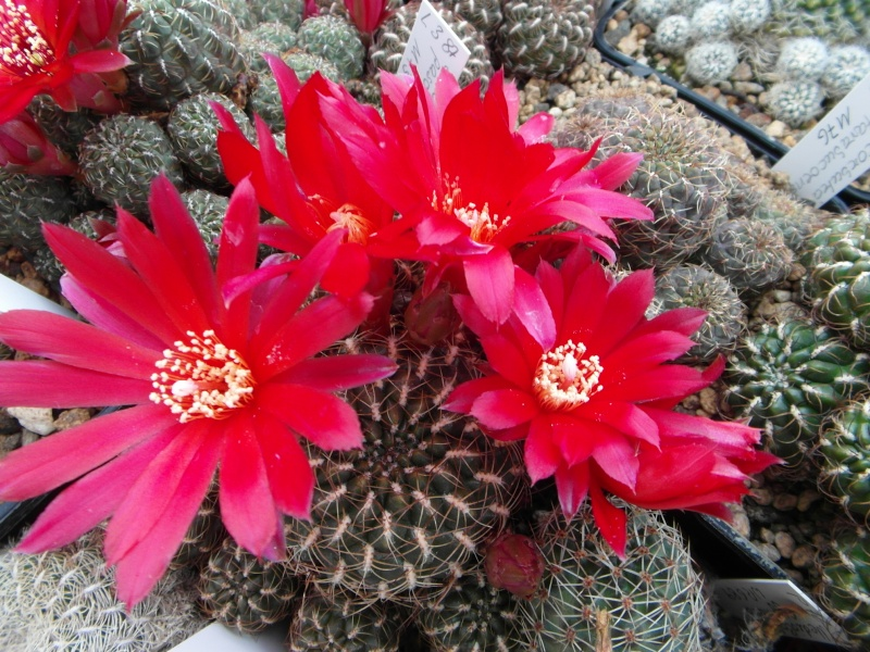 Cacti and Sukkulent in Köln, every day new flowers in the greenhouse Part 49 Bild_860