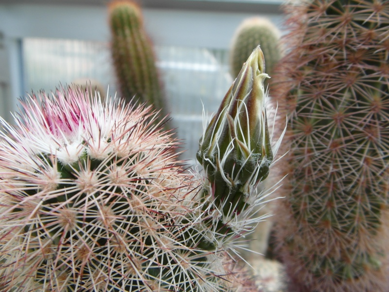 Cacti and Sukkulent in Köln, every day new flowers in the greenhouse Part 49 Bild_863