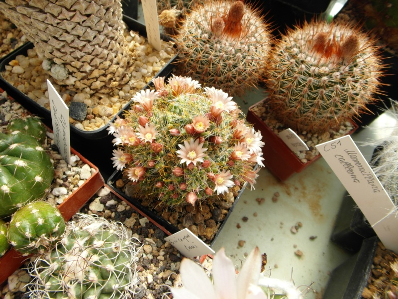 Cacti and Sukkulent in Köln, every day new flowers in the greenhouse Part 49 Bild_881