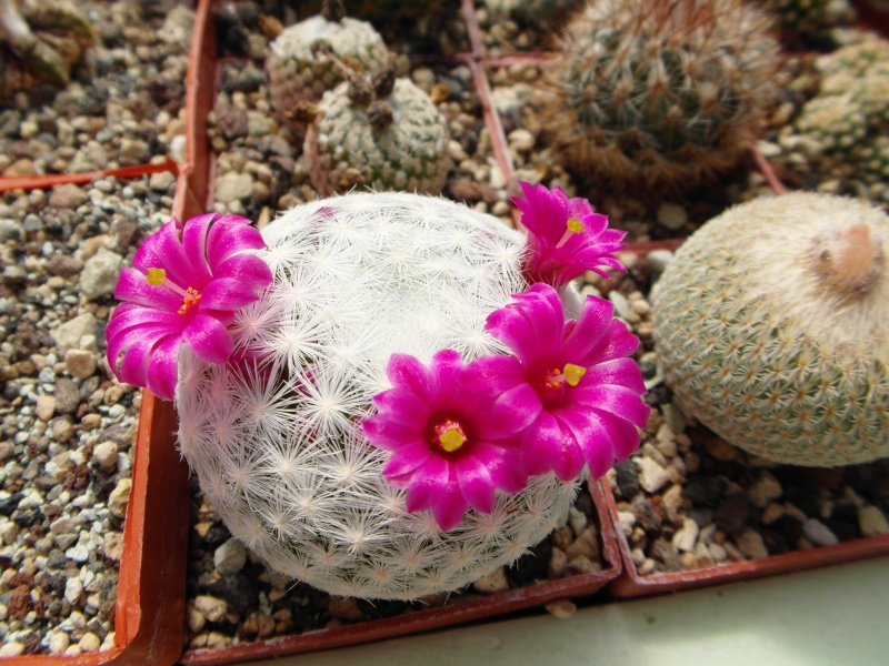 Cacti and Sukkulent in Köln, every day new flowers in the greenhouse Part 49 Bild_882