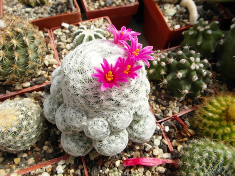 Cacti and Sukkulent in Köln, every day new flowers in the greenhouse Part 49 Bild_883