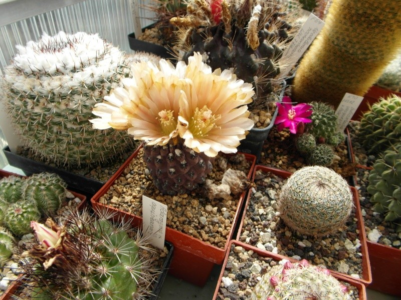 Cacti and Sukkulent in Köln, every day new flowers in the greenhouse Part 49 Bild_887