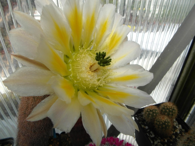 Cacti and Sukkulent in Köln, every day new flowers in the greenhouse Part 50 Bild_899