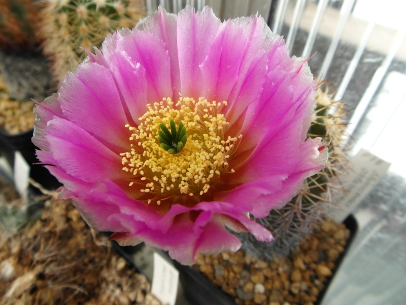 Cacti and Sukkulent in Köln, every day new flowers in the greenhouse Part 50 Bild_900