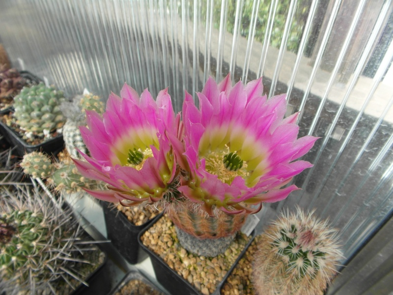 Cacti and Sukkulent in Köln, every day new flowers in the greenhouse Part 50 Bild_901