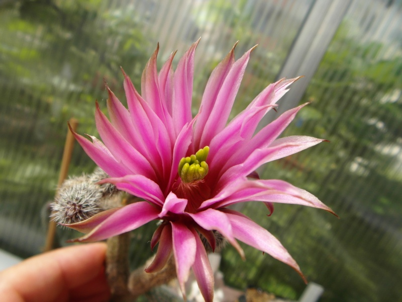 Cacti and Sukkulent in Köln, every day new flowers in the greenhouse Part 50 Bild_904