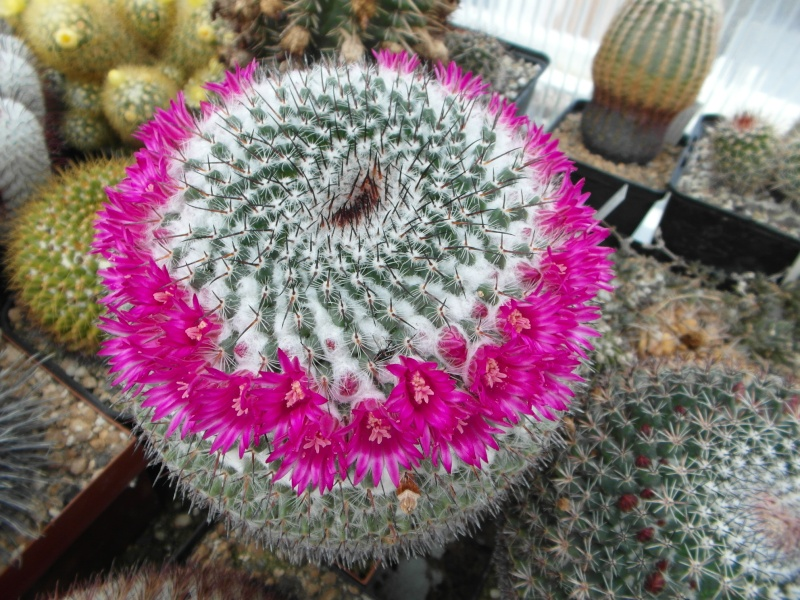 Cacti and Sukkulent in Köln, every day new flowers in the greenhouse Part 50 Bild_913