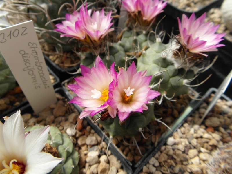 Cacti and Sukkulent in Köln, every day new flowers in the greenhouse Part 50 Bild_916