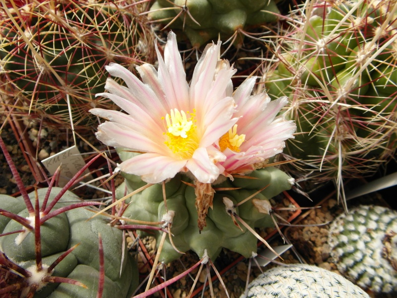 Cacti and Sukkulent in Köln, every day new flowers in the greenhouse Part 50 Bild_918