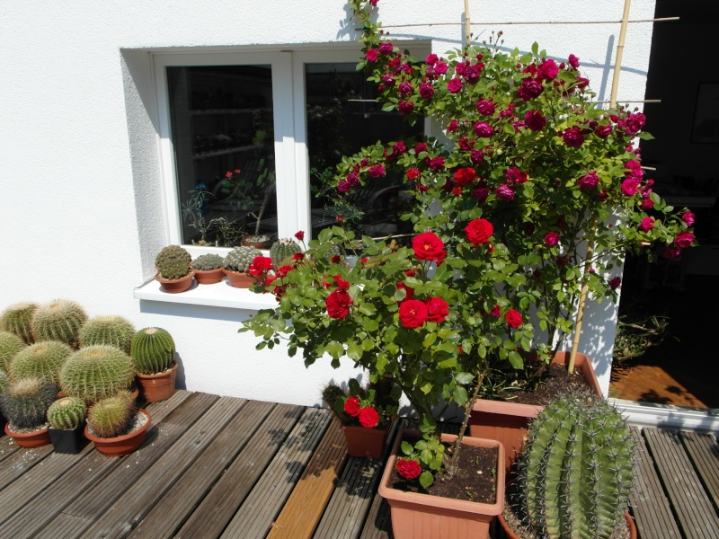 Cacti and Sukkulent in Köln, every day new flowers in the greenhouse Part 50 Bild_922