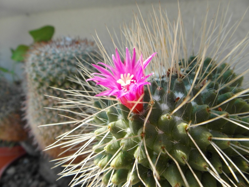 Cacti and Sukkulent in Köln, every day new flowers in the greenhouse Part 50 Bild_923