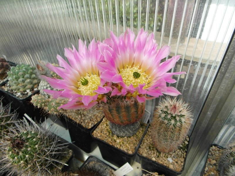 Cacti and Sukkulent in Köln, every day new flowers in the greenhouse Part 50 Bild_924