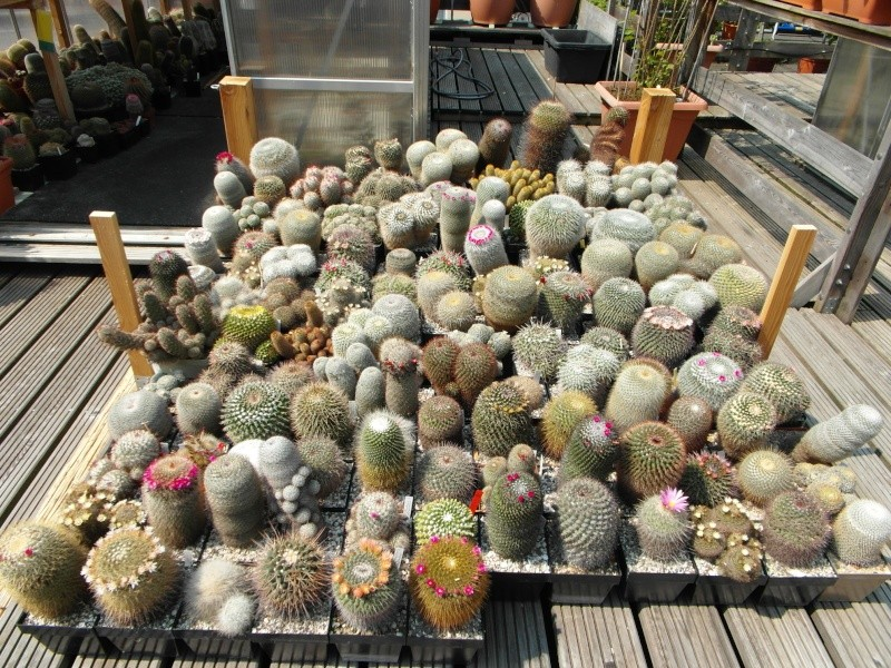 Cacti and Sukkulent in Köln, every day new flowers in the greenhouse Part 50 Bild_928