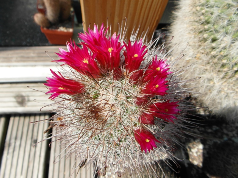 Cacti and Sukkulent in Köln, every day new flowers in the greenhouse Part 50 Bild_929