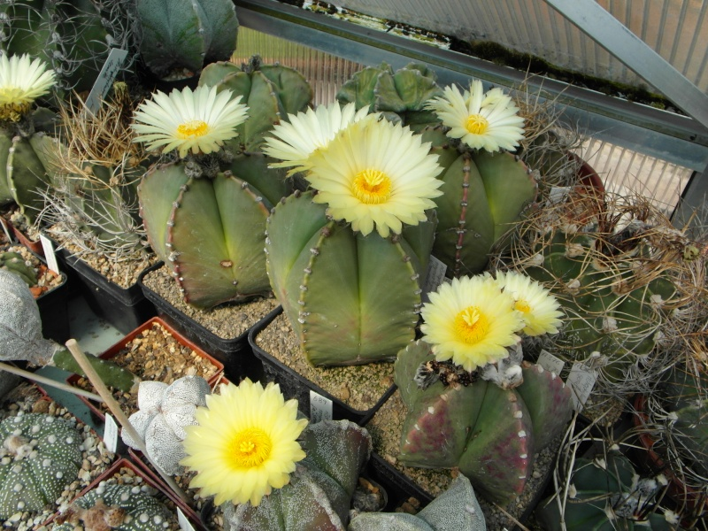 Cacti and Sukkulent in Köln, every day new flowers in the greenhouse Part 50 Bild_931