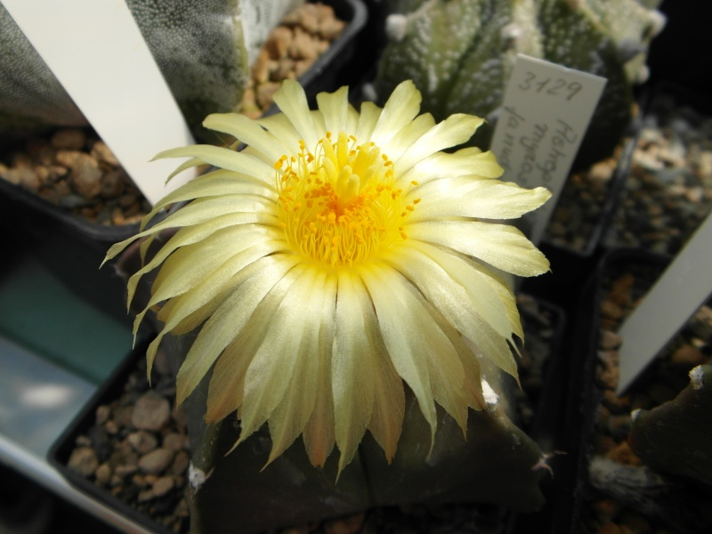 Cacti and Sukkulent in Köln, every day new flowers in the greenhouse Part 50 Bild_932