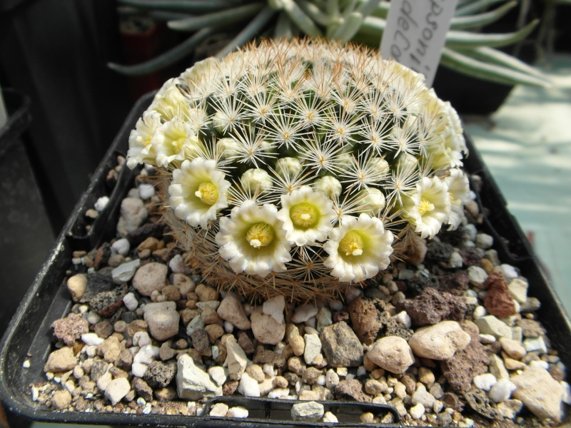 Cacti and Sukkulent in Köln, every day new flowers in the greenhouse Part 50 Bild_933