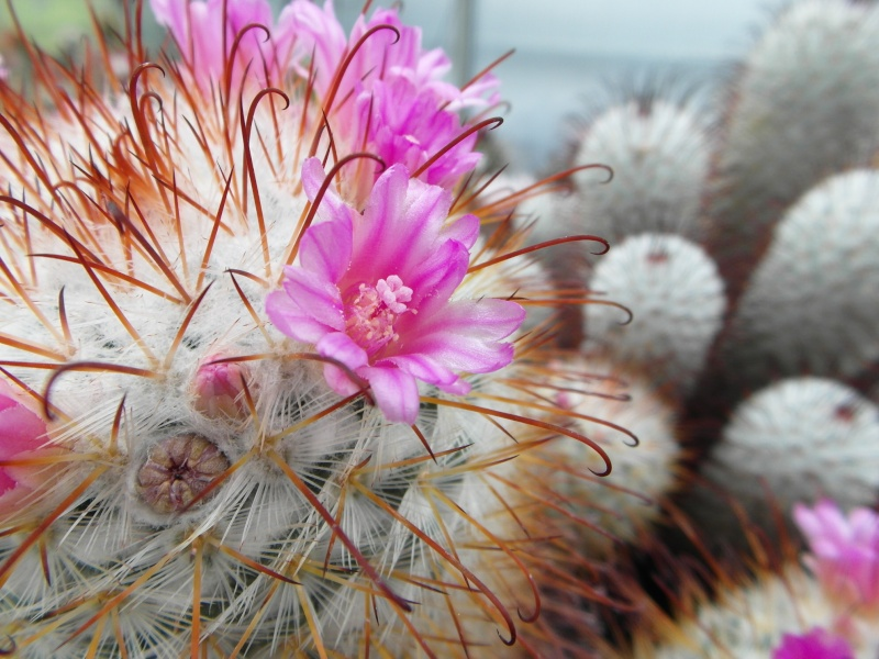 Cacti and Sukkulent in Köln, every day new flowers in the greenhouse Part 50 Bild_939
