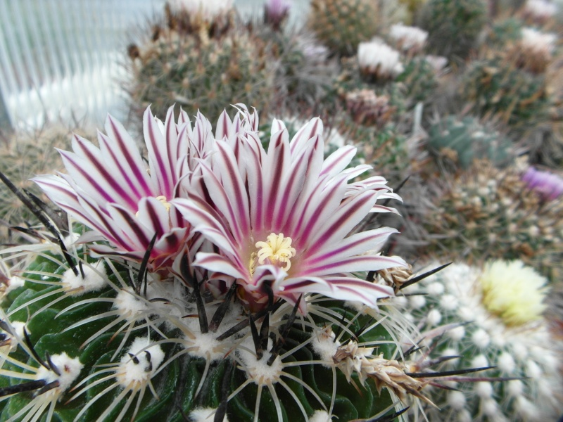Cacti and Sukkulent in Köln, every day new flowers in the greenhouse Part 50 Bild_940