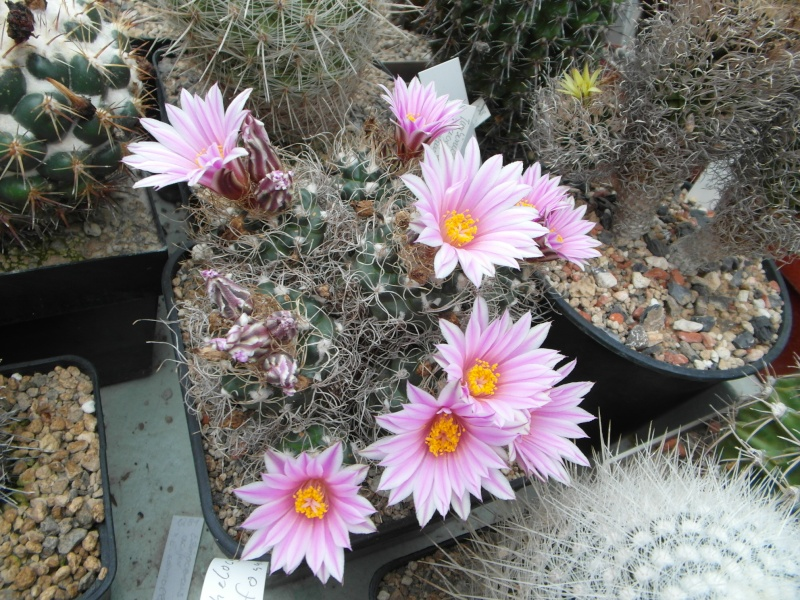 Cacti and Sukkulent in Köln, every day new flowers in the greenhouse Part 50 Bild_941