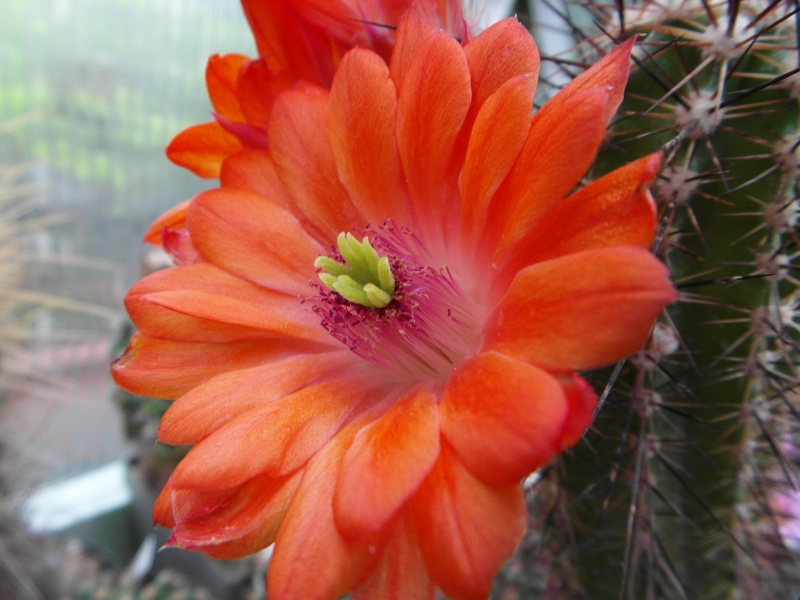 Cacti and Sukkulent in Köln, every day new flowers in the greenhouse Part 50 Bild_942