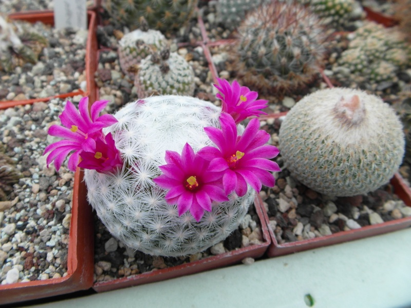 Cacti and Sukkulent in Köln, every day new flowers in the greenhouse Part 50 Bild_945