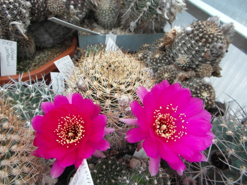 Cacti and Sukkulent in Köln, every day new flowers in the greenhouse Part 50 Bild_949