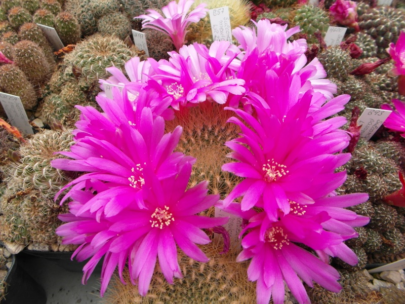 Cacti and Sukkulent in Köln, every day new flowers in the greenhouse Part 50 Bild_952