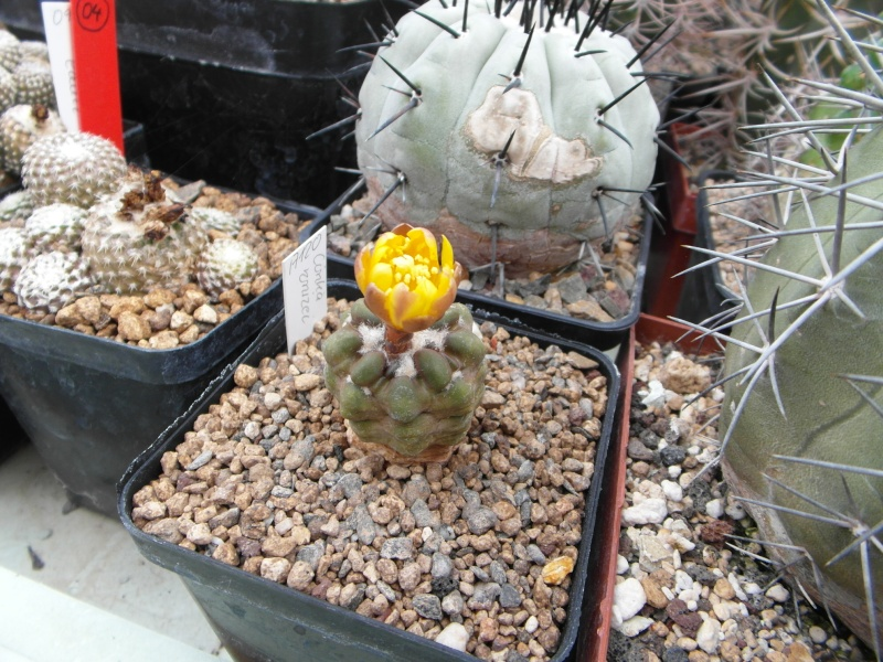 Cacti and Sukkulent in Köln, every day new flowers in the greenhouse Part 50 Bild_954