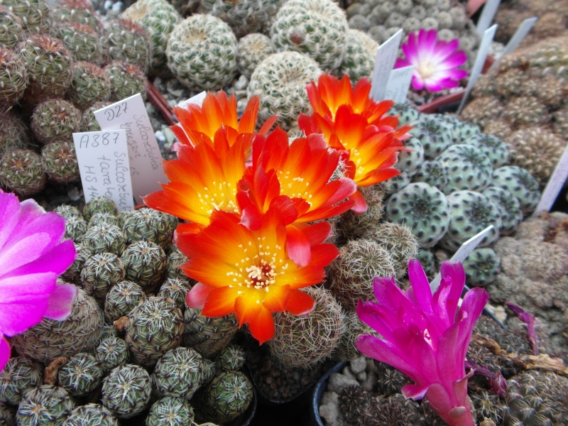 Cacti and Sukkulent in Köln, every day new flowers in the greenhouse Part 50 Bild_955